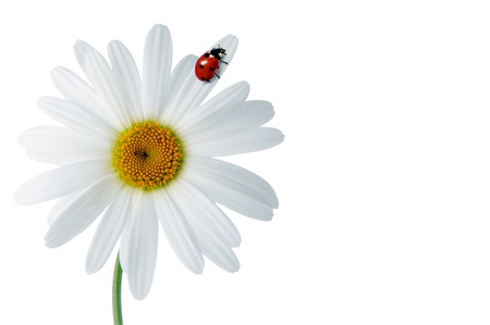 Daisies with ladybird over white background