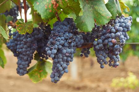 Foto für bunch of black grape at vine. ripe purple bunch. outdoor country scene. harvesting season concept. close up shot with copy space - Lizenzfreies Bild