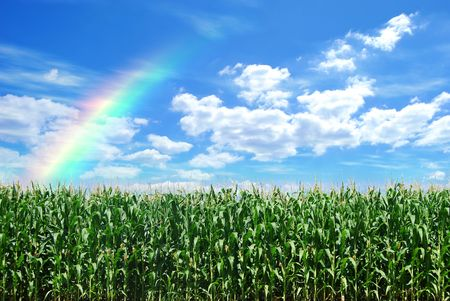 corn field and blue sky with rainbow