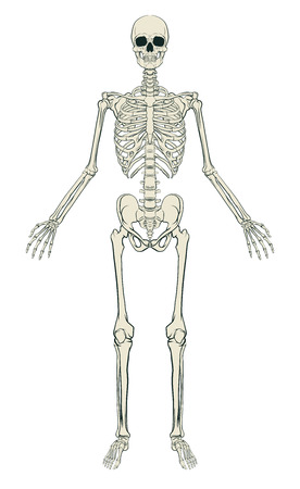 Ilustración de An anatomically correct medical educational illustration of a human skeleton - Imagen libre de derechos