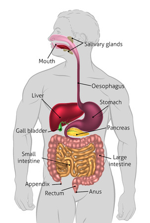 Illustration pour The human digestive system, digestive tract or alimentary canal with labels. Labelled with UK spellings and labels like those in the GCSE syllabus - image libre de droit