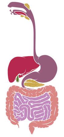 Human Anatomy, Gastrointestinal Tract Diagram vector illustration