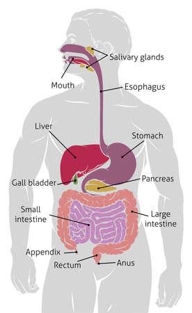 Ilustración de Human gut digestive system gastrointestinal tract. - Imagen libre de derechos