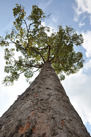 Big tree - looking up angle