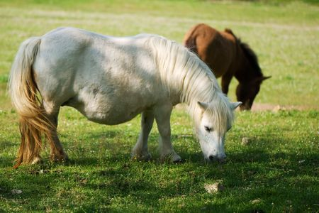 Pregnant white pony eating