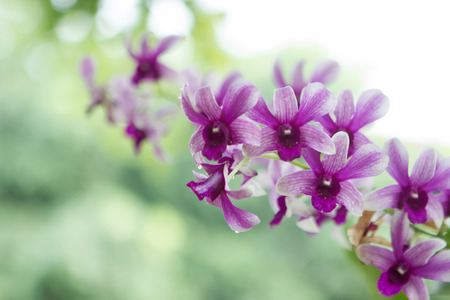 Dendrobium sonia orchids flower in white-purple over the blur out greenery background.の写真素材