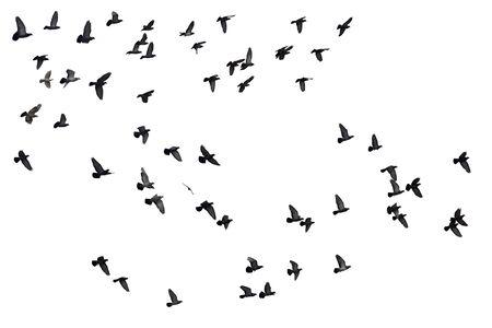 Photo for Flocks of flying pigeons isolated on white background. - Royalty Free Image