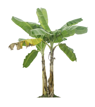 Photo for Banana tree isolated on white background with clipping paths for garden design.Economic crops of tropical countries are gaining popularity. - Royalty Free Image
