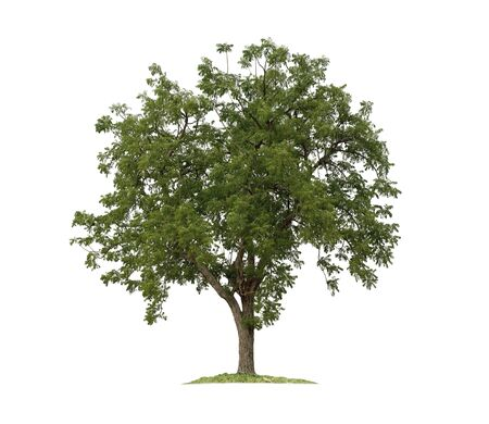 Photo pour Tree isolated on white background with clipping paths for garden design.Tropical species found in Asia. - image libre de droit