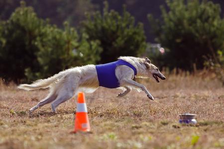 Coursing. The Race of Russkaya psovaya borzaya. Training in the field. Sunny day