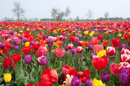 Many beautiful coloured tulips in the Netherlands