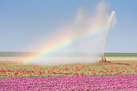 Foto de Sprinkler installation in a Dutch tulip field with a beautiful Rainbow - Imagen libre de derechos