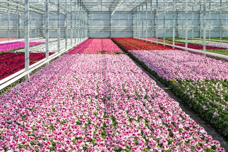 Cultivation of white and purple geraniums in a Dutch Greenhouse