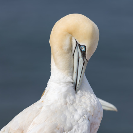 Northern gannet (Morus bassanus) at Helgoland Island, Germany