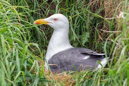 Brooding herring gull in high grass at Inchcolm Island near Edinburgh in Scotland