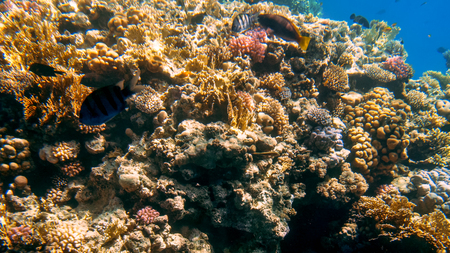 Photo pour Beautiful underwater photo of colorful tropical coral reef on the Red sea bottom - image libre de droit