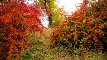Beautfiul image of red and orange barberry bushes growing at autumn park