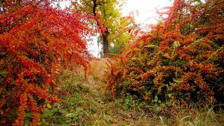 Foto de Beautfiul image of red and orange barberry bushes growing at autumn park - Imagen libre de derechos