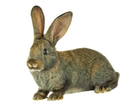 gray rabbit isolated on white background