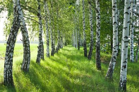 Birch forest. Birch Grove. White birch trunks. Spring sunny forest.