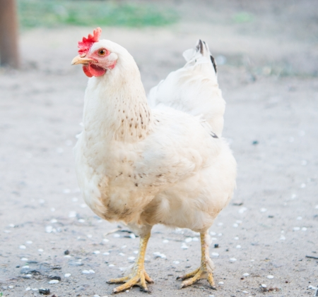 Closeup portrait of a white chicken outdoor