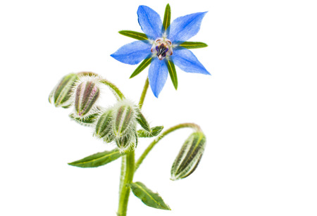 borage on a white background