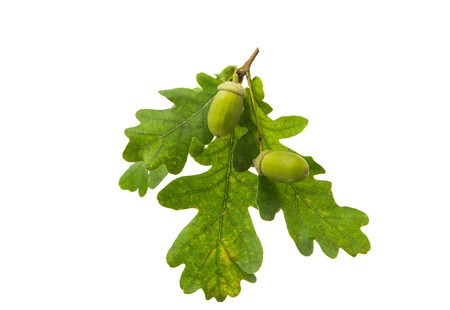 Green acorn on a white background