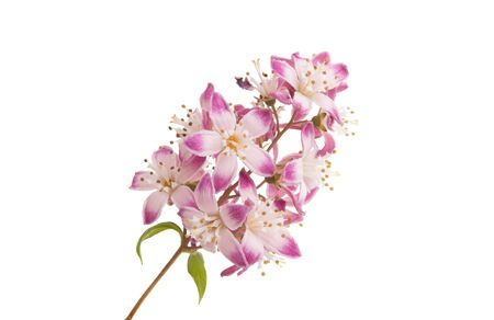 Photo for Deutzia flower isolated on white background - Royalty Free Image