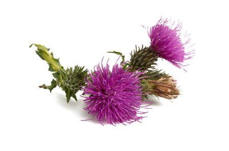 Photo pour burdock flower isolated on white background - image libre de droit