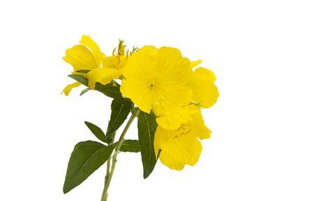 Foto de evening primrose flower isolated on white background - Imagen libre de derechos