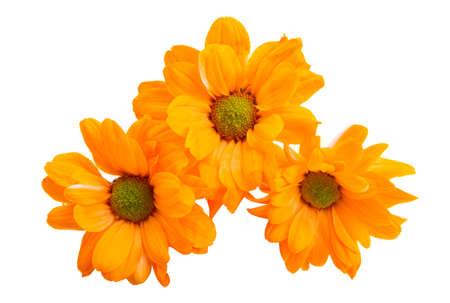 Photo for beautiful chrysanthemum flowers isolated on white background - Royalty Free Image