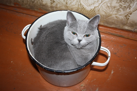 Cat animal bad treatment. Poor conditions of detention. British smoky breed. Photo for your design