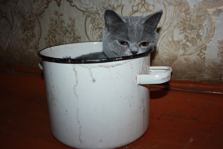 Cat animal bad treatment. Poor conditions of detention. A stray cat in a saucepan. British smoky breed. Photo for your design