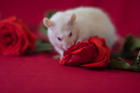 Photo for The concept of perfume with the scent of roses. A white rat sniffs a flower. - Royalty Free Image