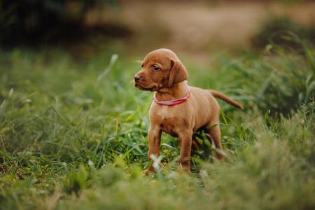 Photo pour portrait of cool cute puppy Hungarian pointing dog, vizsla stay on grass. brown background - image libre de droit