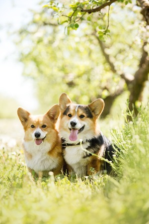 Foto de two cool corgi dog in the sunny park - Imagen libre de derechos