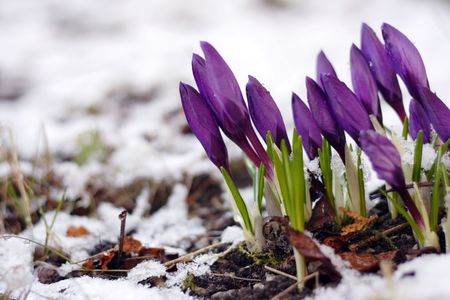 Purple crocuses through the snow
