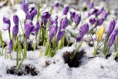 Purple crocuses through the snow