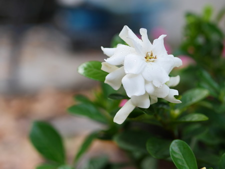 Cape jasmine - sometimes called crape jasmine - is a wide-growing shrub with sweetly-scented flowers.