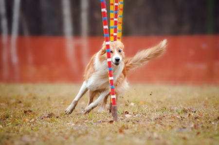 funny dog border collie running competitions of agility