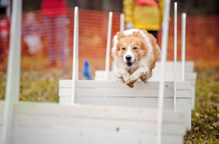 funny dog border collie jumping in competitions of flyboll