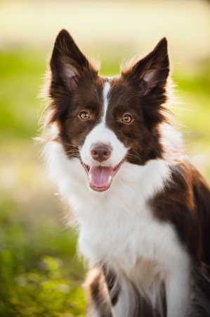 Photo for happy brown dog border collie portrait in summer - Royalty Free Image
