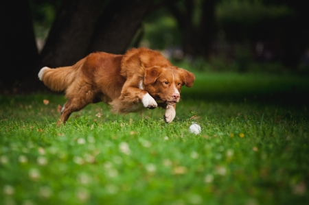 happy golden retriever Toller dog playing with ball