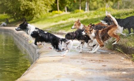 dogs team border collie jumping in the water