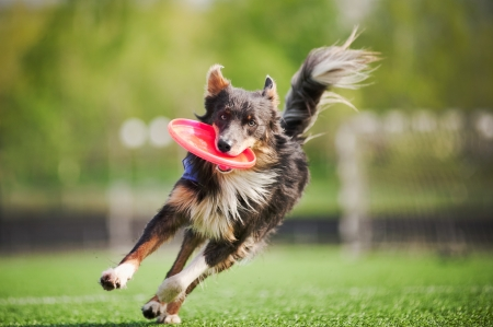 Foto de funny border collie dog brings the flying disc in jump - Imagen libre de derechos