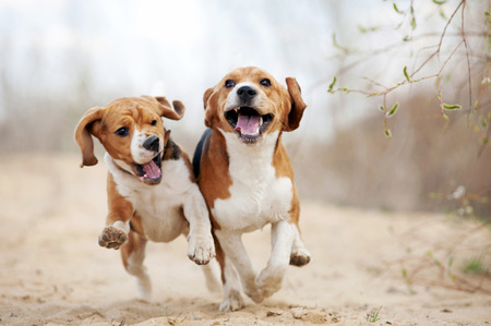 Photo pour Two funny beagle dogs running in spring together - image libre de droit