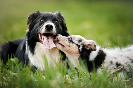 Photo pour Old dog border collie and puppy playing in the summer - image libre de droit