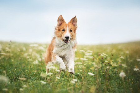 Red border collie dog running in a meadow, summerの写真素材