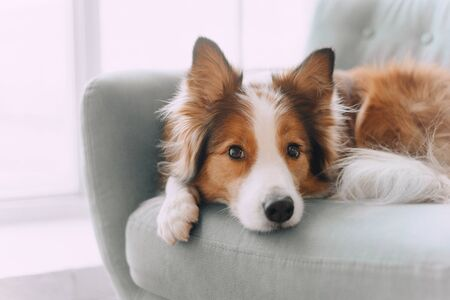 Foto de Border collie dog lying on the couch - Imagen libre de derechos