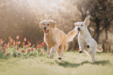 Photo pour Two Golden retriever dogs running after each other in spring - image libre de droit